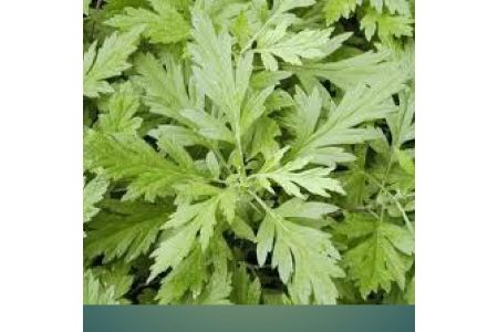 More Income With Less Investment:- Commercial Cultivation Of Mugwort started