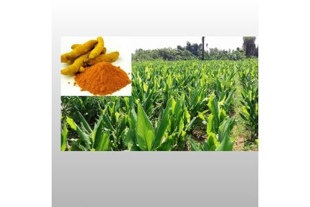 Attraction Of Farmers In Commercial Turmeric Farming Has Suddenly Increased